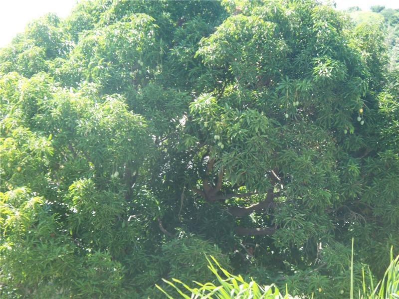 Old Growth Mango Tree on Property
