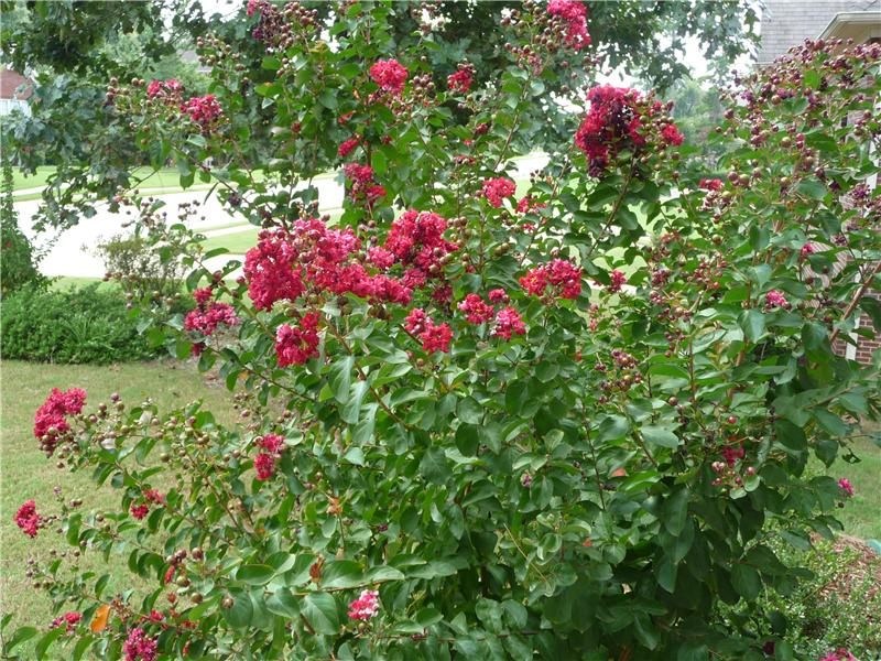 Crepe myrtles blooming in the summer!